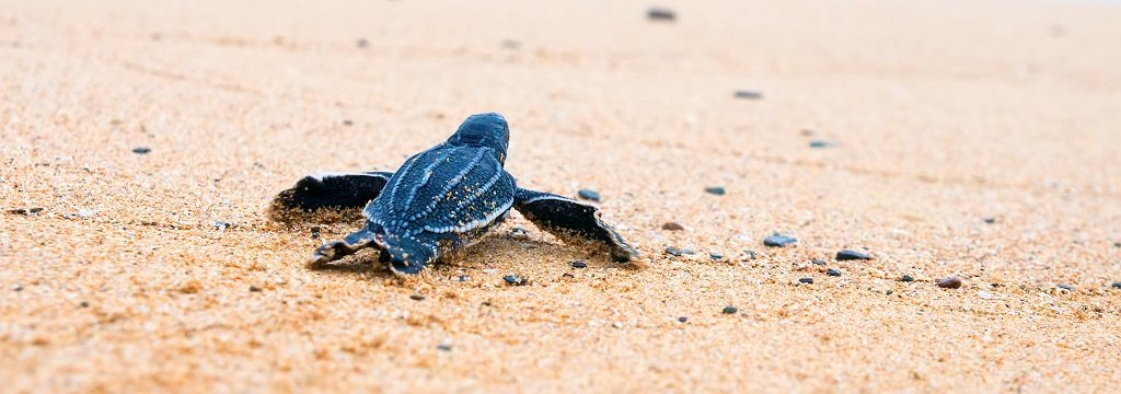 Close up of baby blue turtle on the sand