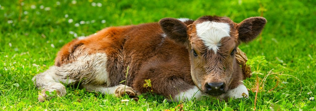 Close-up of calf lying down in the grass