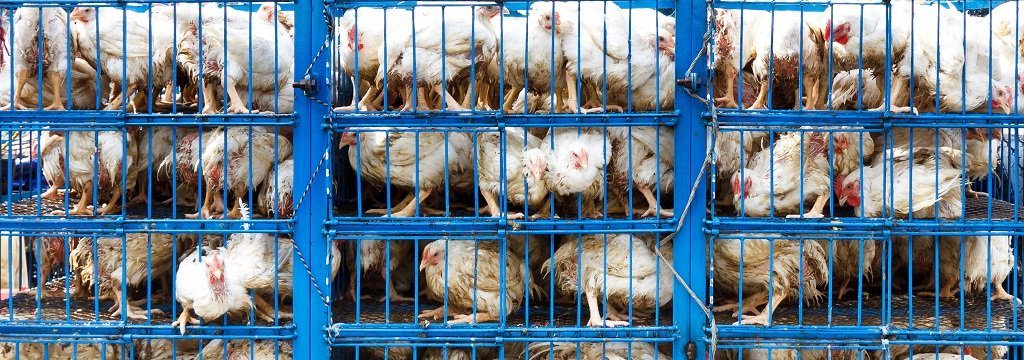 Dozens of chickens stacked on top of each other in small cages