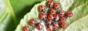 Crowd of ladybugs on a leaf