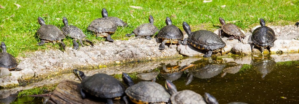 Group of turtles climb out the edge of a pond while some sit on a log