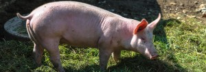 Close up of pig walking on grass