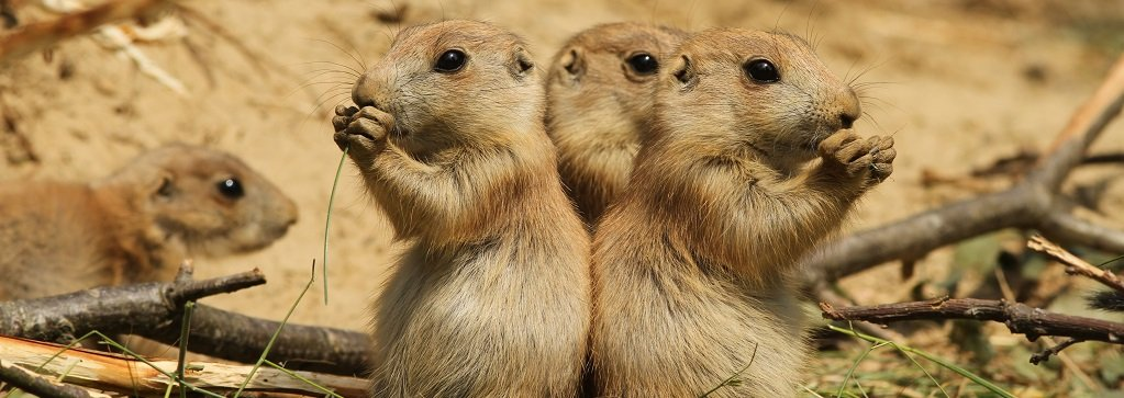 Prairie dogs eating grass
