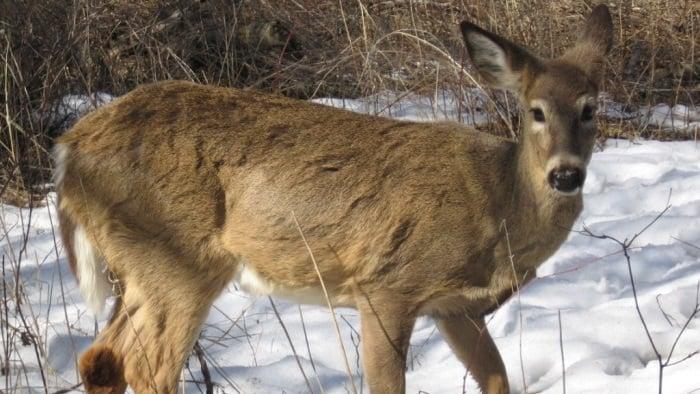 deer standing in the snow