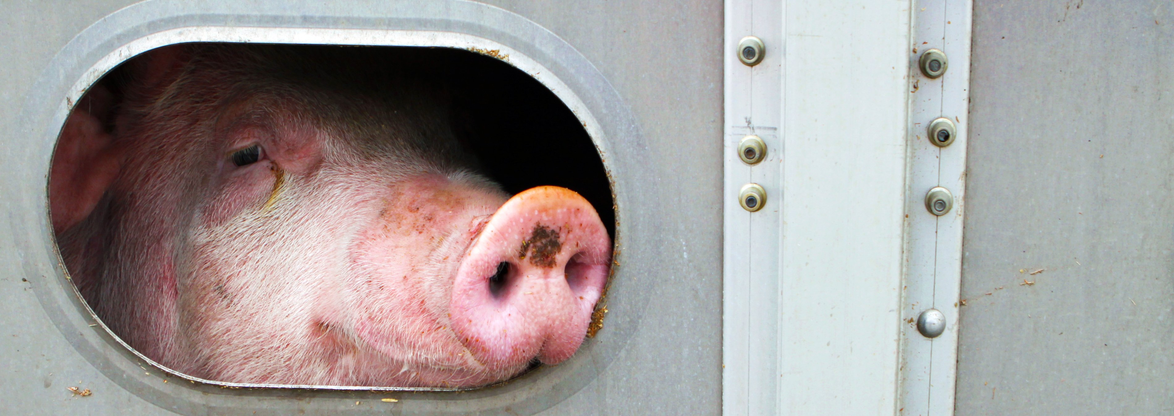 Close-up of pig looking through window like opening of truck with mud or fecal matter on her snout and face.