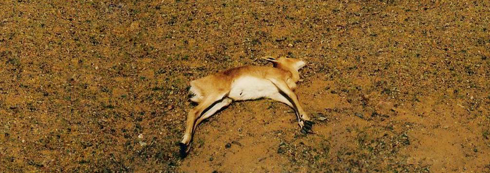 Dead gazelle lying on the ground