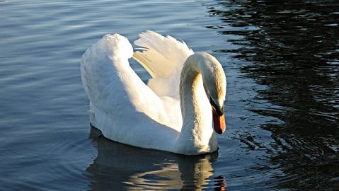 Mute Swan sitting on a lake