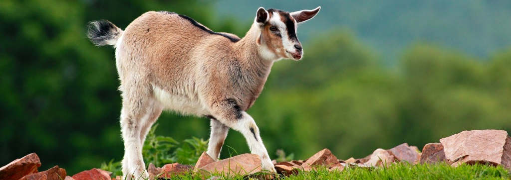 Young goat walking along a brick covered hill