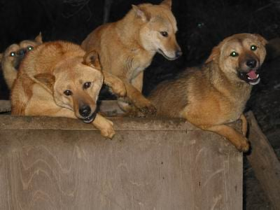 group of nureongi dogs sitting together