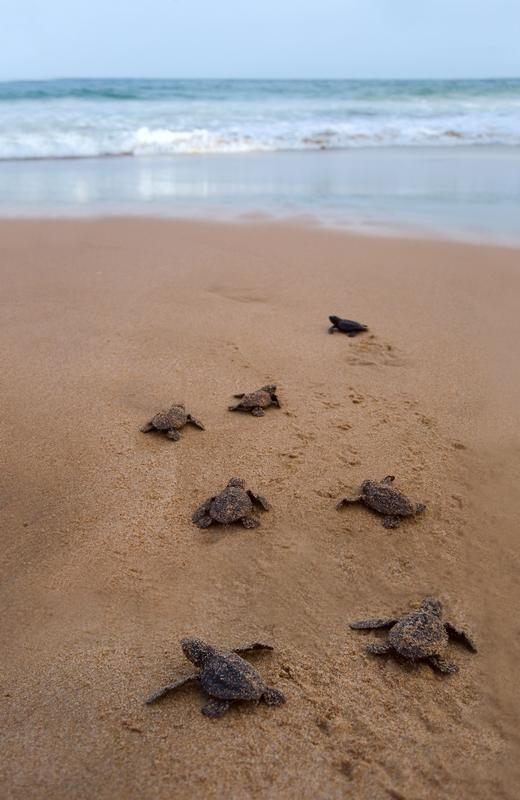 Baby turtles walking in sand towards the water animal ethics publicscrutiny Gallery