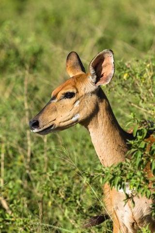 Female deer side view