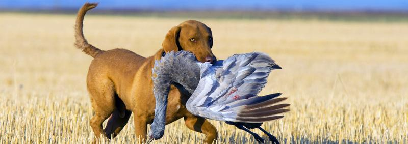 Golden retriever hunting dog with sandhill crane in his mouth