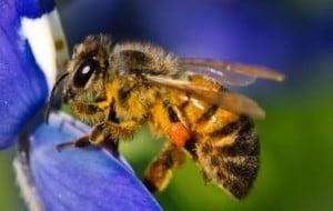 Exploração de abelhas