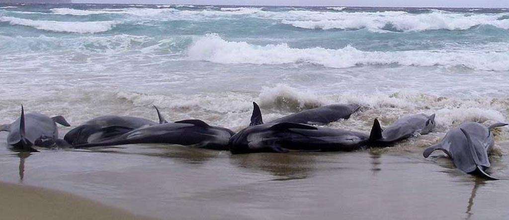 Whales in mass strandings, photo by Emma Betty (Coastal Marine Mammal Research)