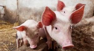 Schweinezuchtbetriebe