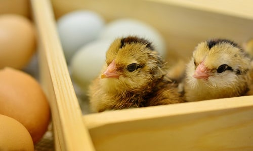 two chicks in a box surrounded by eggs