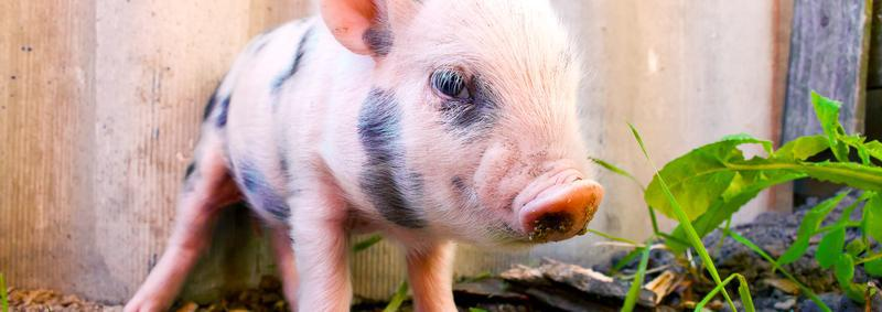 veganism-piglet