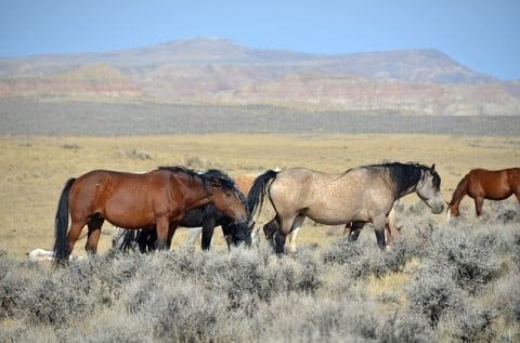 wild horses in a western landscape